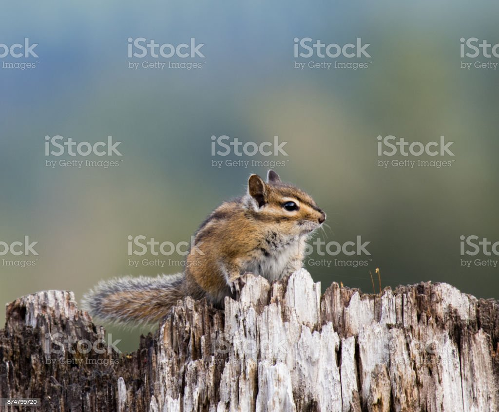 Chipmunk sitting on a stump and looking into camera. stock photo