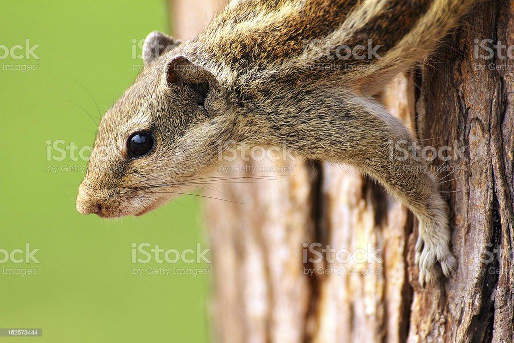 chipmunk sitting on tree royalty-free stock photo
