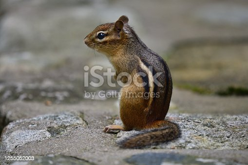 Eastern chipmunk sitting up on a stone wall in Connecticut