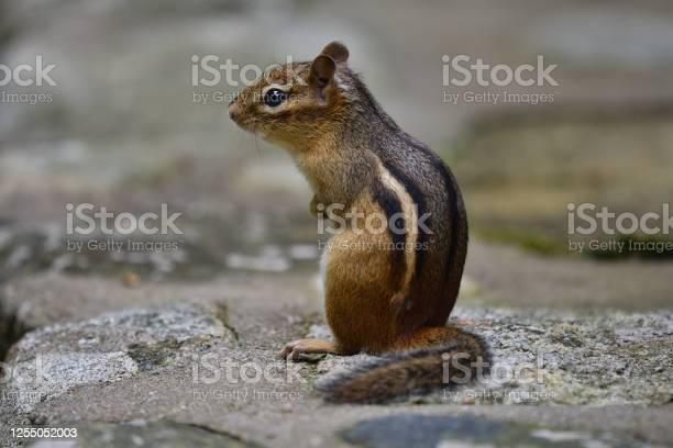 Photo of Chipmunk sitting up on stone wall