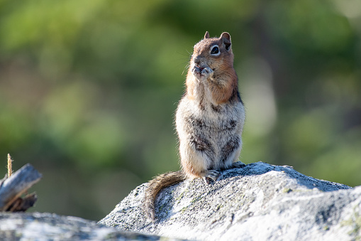 Chipmunk standing and eating on a rock in the forest near Rocky Mountain National Park in Colorado in western USA. John Morrison - Photographer