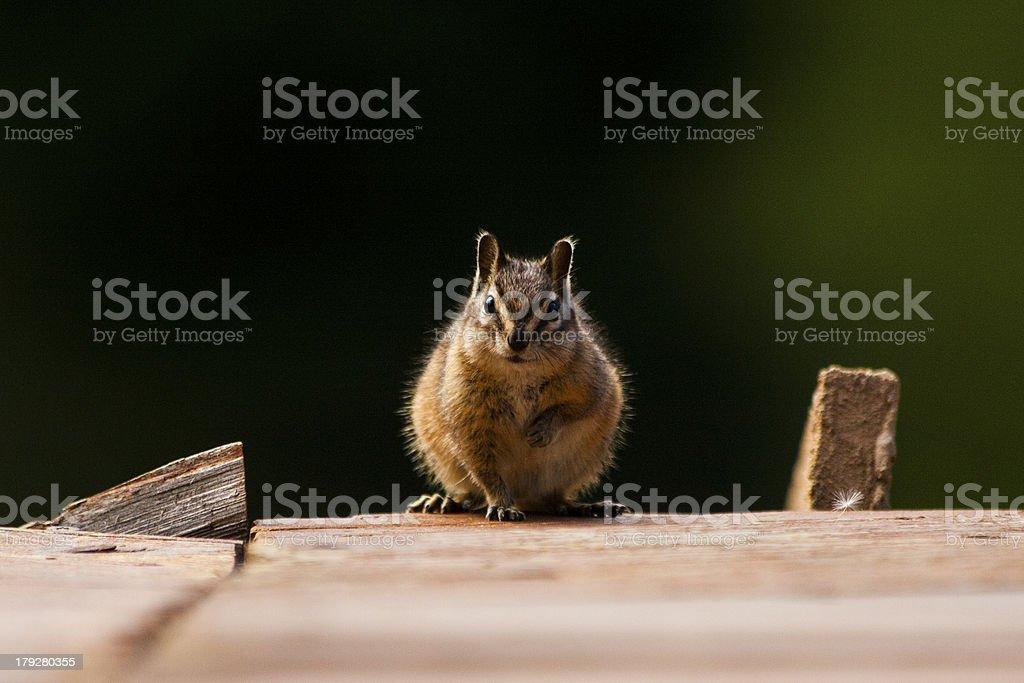 Chipmunk Staredown royalty-free stock photo