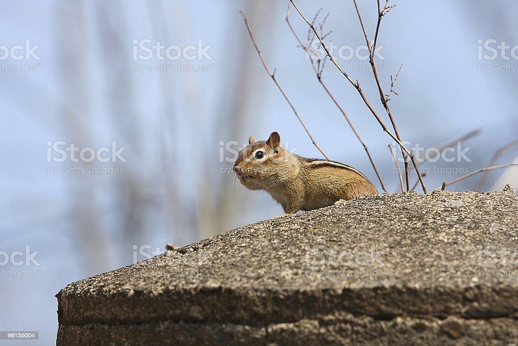 Chipmunk staring royalty-free stock photo