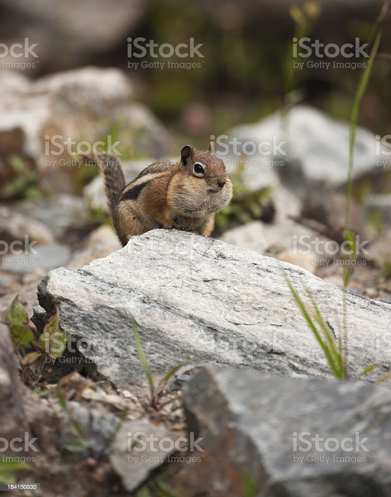 Chipmunk with a mouthful stock photo
