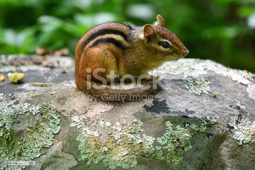 Eastern chipmunk with curled tail resting on lichen-covered boulder in a New England stone wall