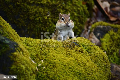 Eastern chipmunk with full cheek pouches watching passersby from mossy stone wall