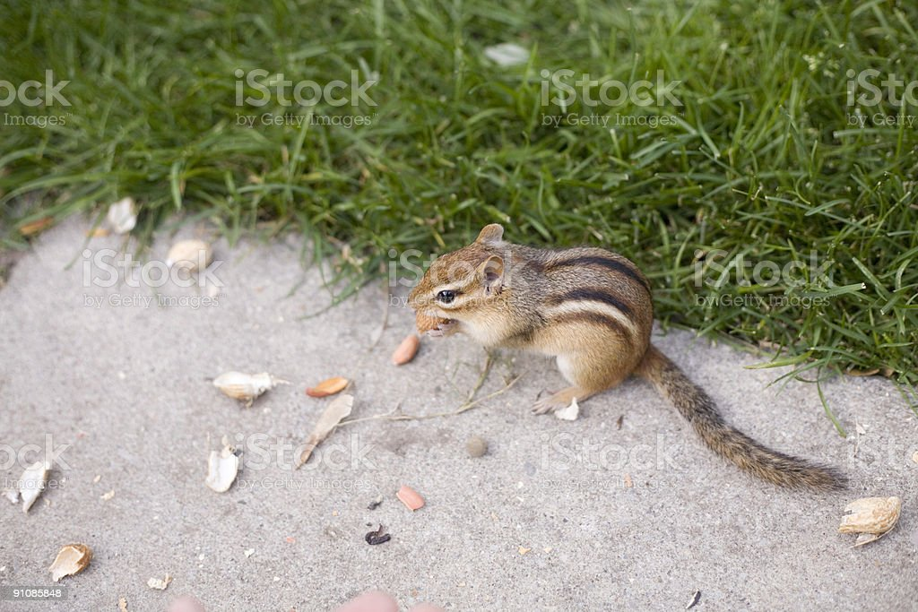 Chipmunk with nuts royalty-free stock photo
