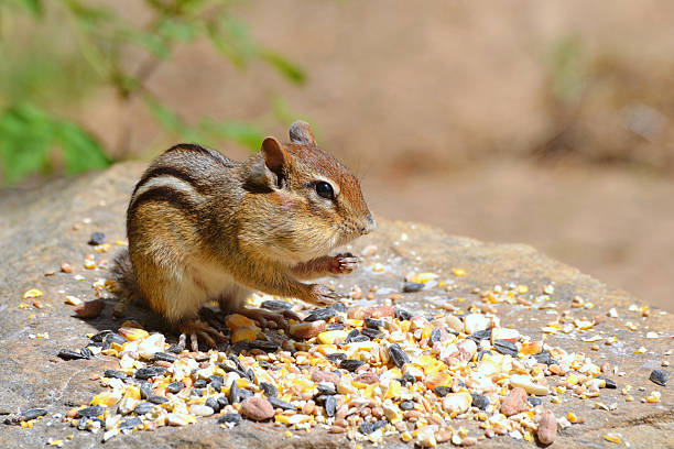 Chipmunk with Seed stock photo