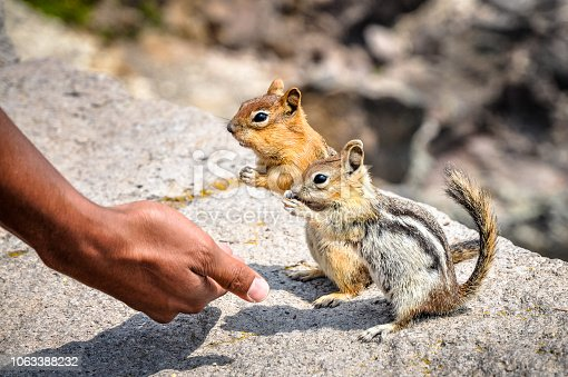 Two chipmunks on a rock feeding from a hand