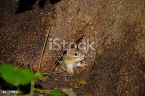 Chipmunk looking through a hole in an old tree.