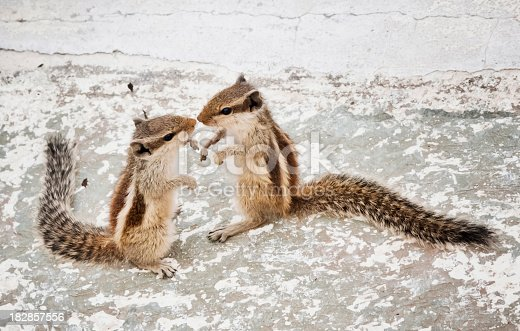 Chipmunk touch with the tip of the noseChipmunk Love Story :