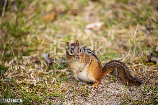 Chipmunks of the Pukaskwa Forest in Canada