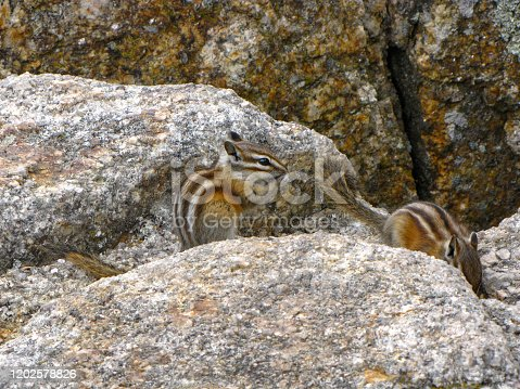 Cute chipmunks (Marmotini) on a rock in Custer State Park, South Dakota, USA