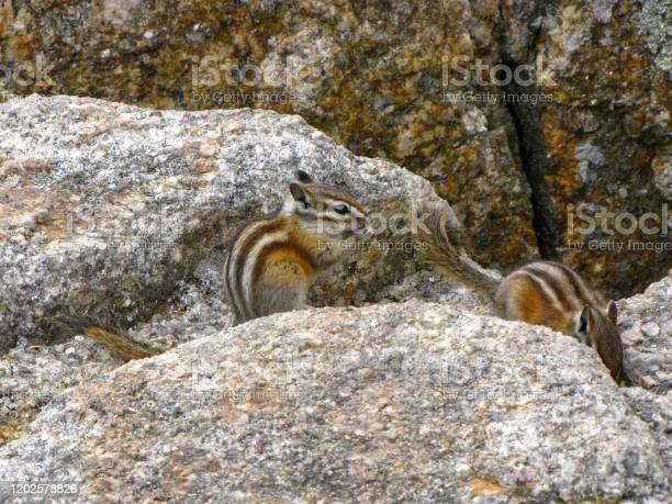 Photo of Chipmunks on rocks, North America