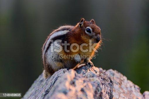 Ein kanadisches Streifenhörnchen beim Sonnenaufgang auf einem Felsen.
