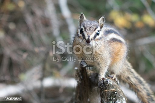Chipmunk In Nature