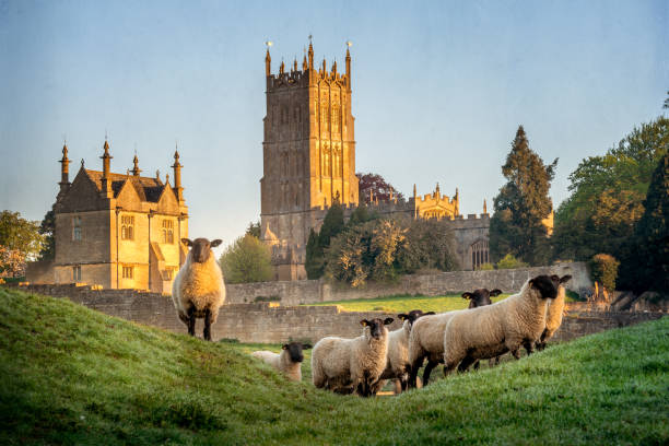 Chipping Campden church with sheep in foreground Cotswold sheep near Chipping Campden in Gloucestershire with Church in background at sunrise. rural scene stock pictures, royalty-free photos & images