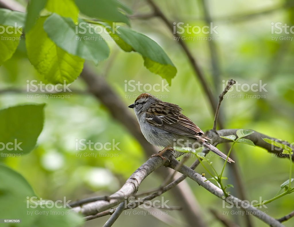 Chipping Sparrow royalty-free stock photo