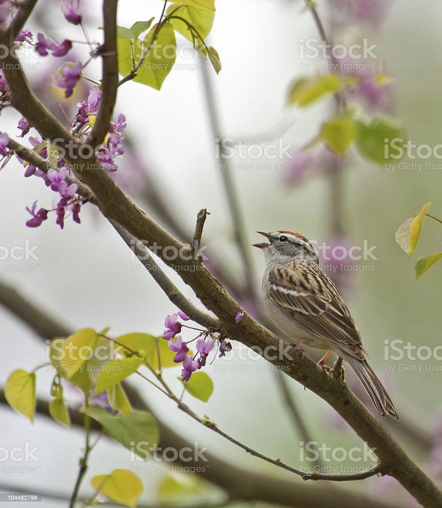 Chipping Sparrow, Spizella paserina stock photo