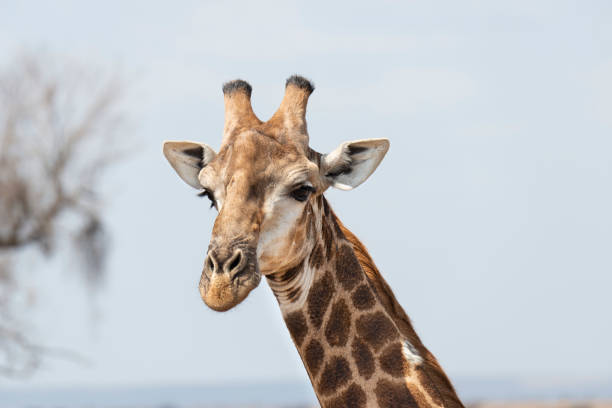 chiraffe stock photo