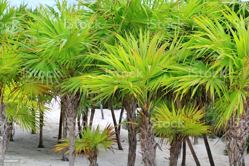 Chit palm trees in Caribbean beach sand Tulum stock photo