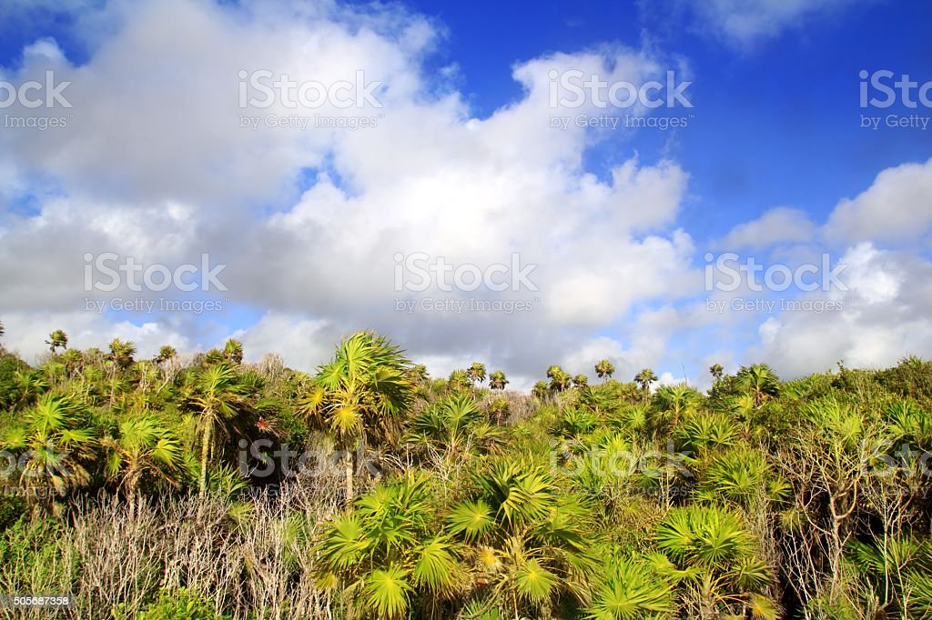Chit palm trees jungle in Tulum Mayan Riveira Mexico stock photo