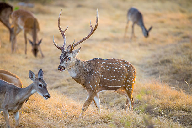 Chital Deer Wild South Texas Axis, Chital, or spotted Deer Buck. axis deer stock pictures, royalty-free photos & images