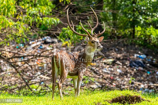 chital deer with Land pollution in the background. Indicates environmental pollution. And the importance of protecting it. Doe Capreolus capreolus looking for food in the field.