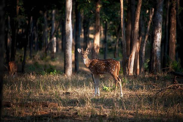Chital or Axis Deer