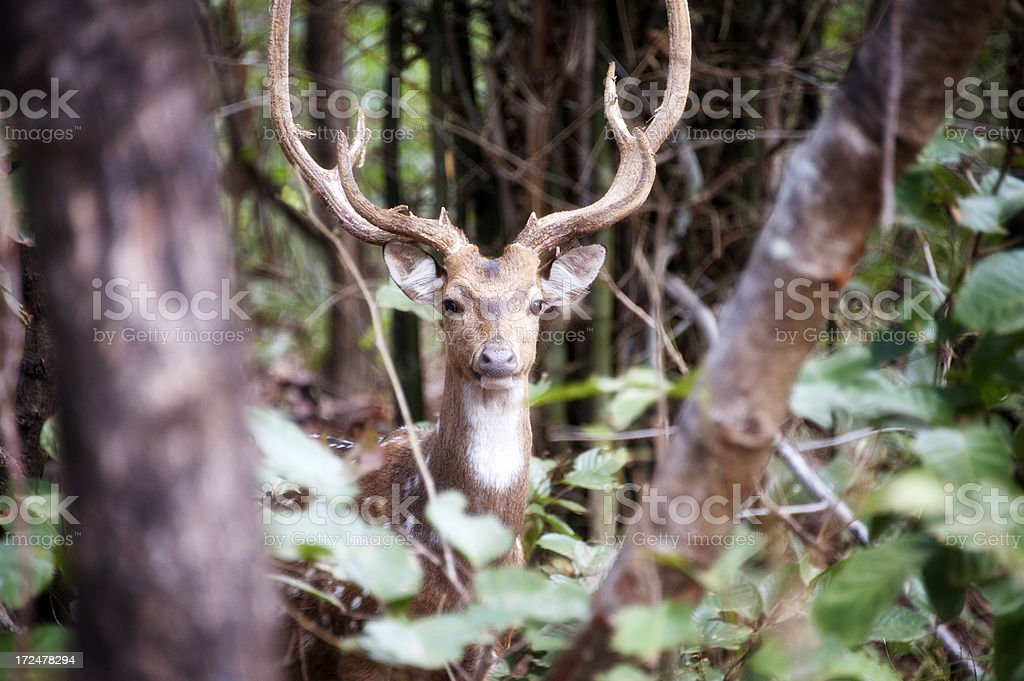 Chital or Axis Deer royalty-free stock photo
