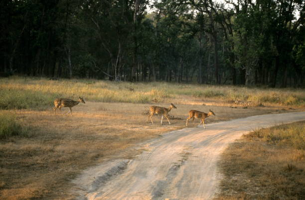 Chitals crossing the road in Kanha Tiger Reserve, Madhya Pradesh,India Chitals crossing the road in Kanha Tiger Reserve, Madhya Pradesh,India axis deer stock pictures, royalty-free photos & images