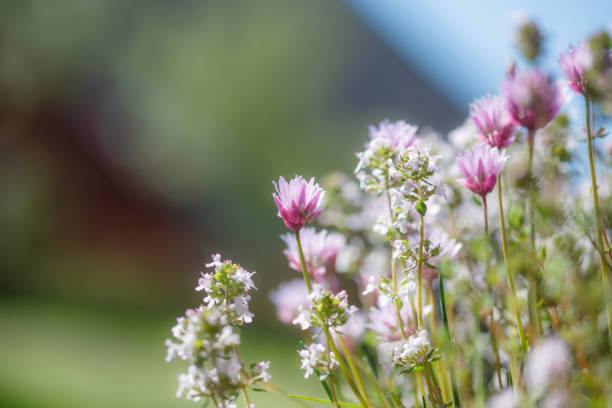 Chive and Thyme flowering in the garden, blue sky, copy space, no people, springtime cheerful image stock photo