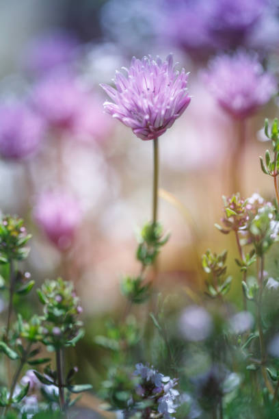 Chive and Thyme flowering in the garden, blue sky, copy space, no people, springtime cheerful image, vertical stock photo