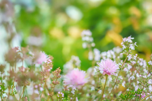 Chive and Thyme flowering in the garden, copy space, no people, springtime cheerful image stock photo