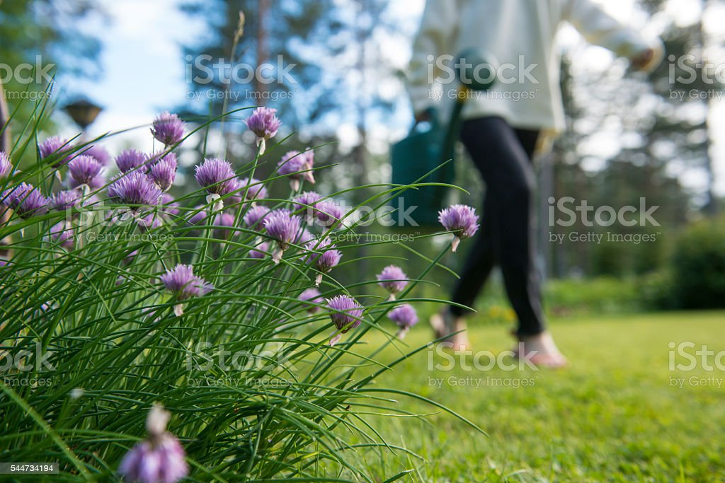 Chive and woman with watering can. stock photo