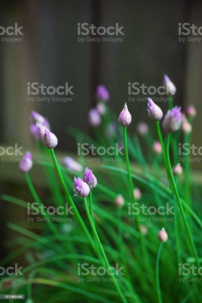 Chive Blossom royalty-free stock photo