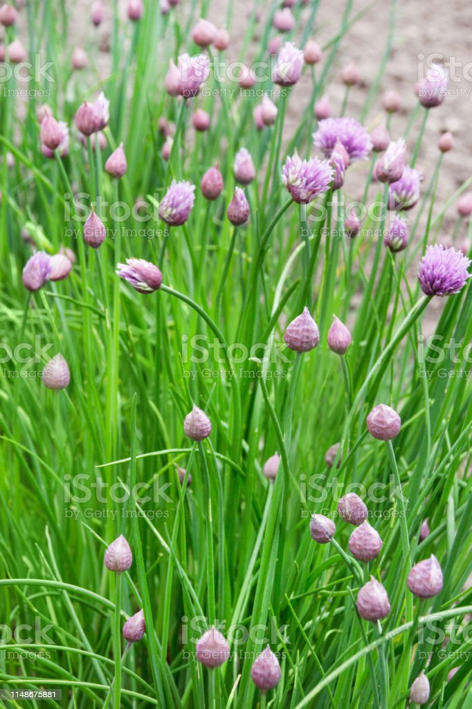 Chive blossoms in herb garden close up background