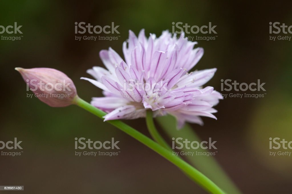 Chive Flower Close up stock photo