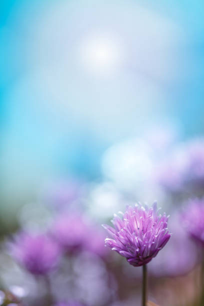 Chive flowering in the garden, blue sky, copy space, no people, springtime cheerful image stock photo