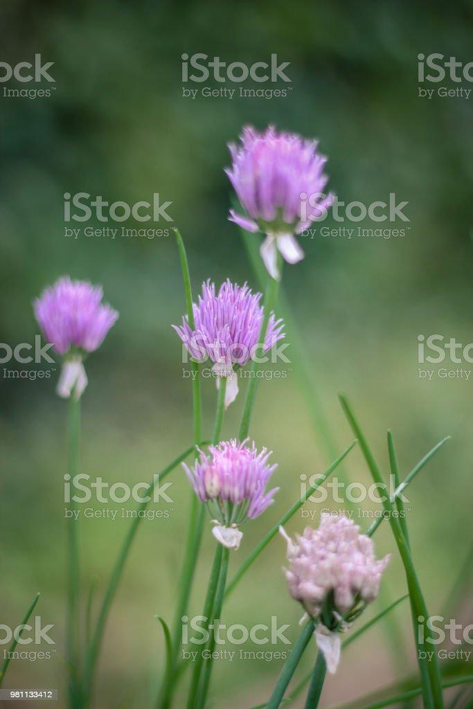Chive Flowers in herb garden