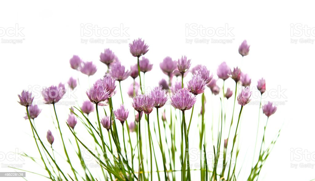 Chive flowers. stock photo