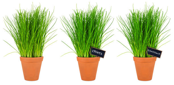 chive herbs stock photo