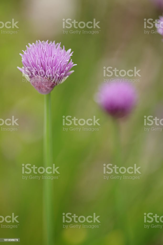 A chive with a purple blossom with more blurry ones in rear. stock photo