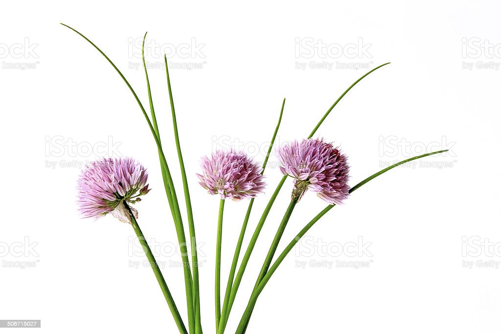 Chive with blossoms stock photo
