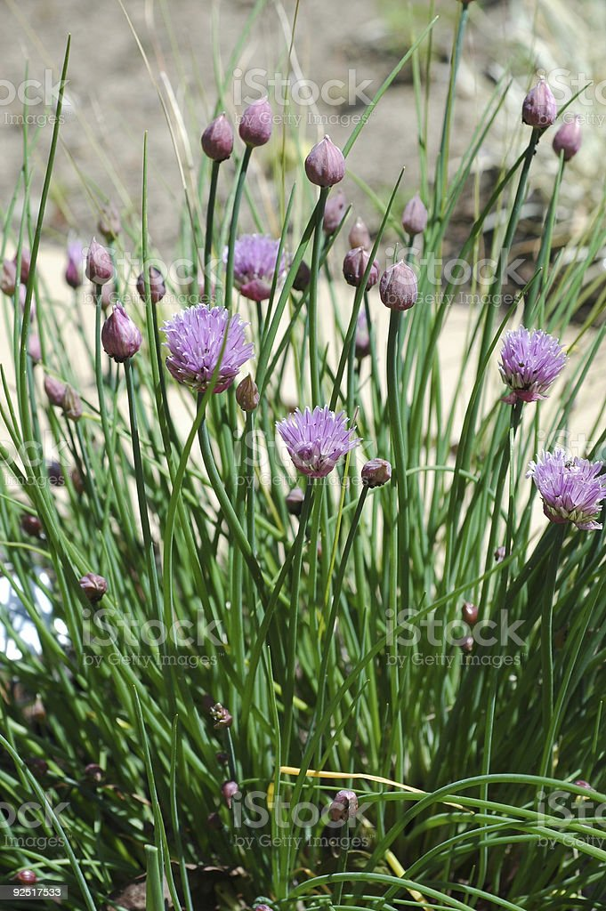 chives, Allium schoenoprasum, flowers and leaves royalty-free stock photo