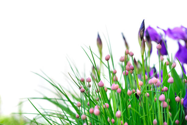 chives and iris flowers - iris flower stock photos and pictures