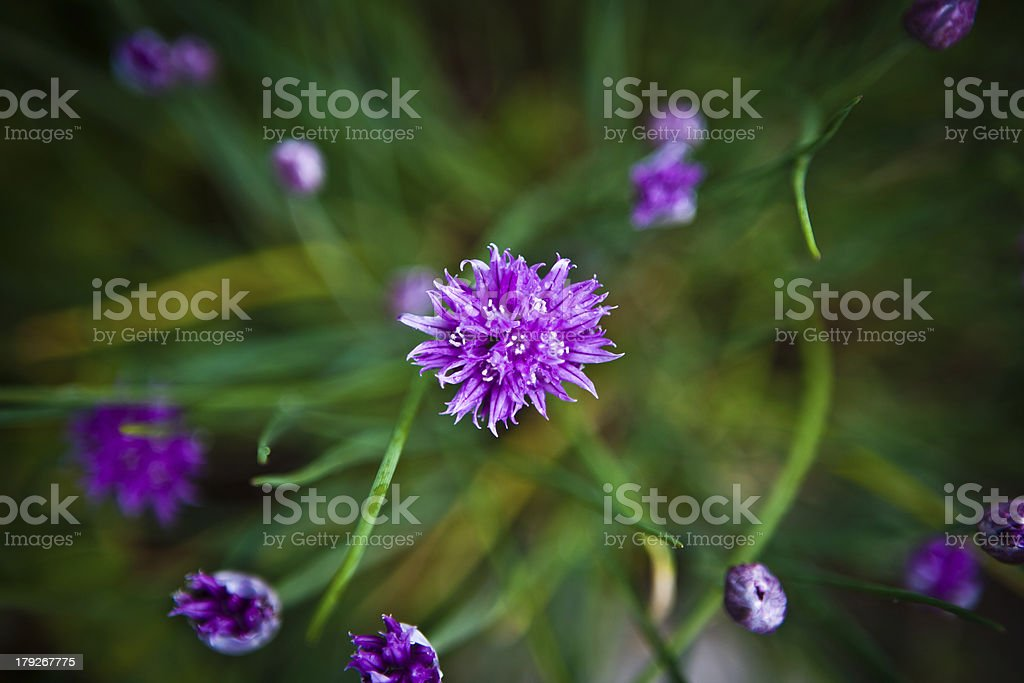 chives blossom from above stock photo