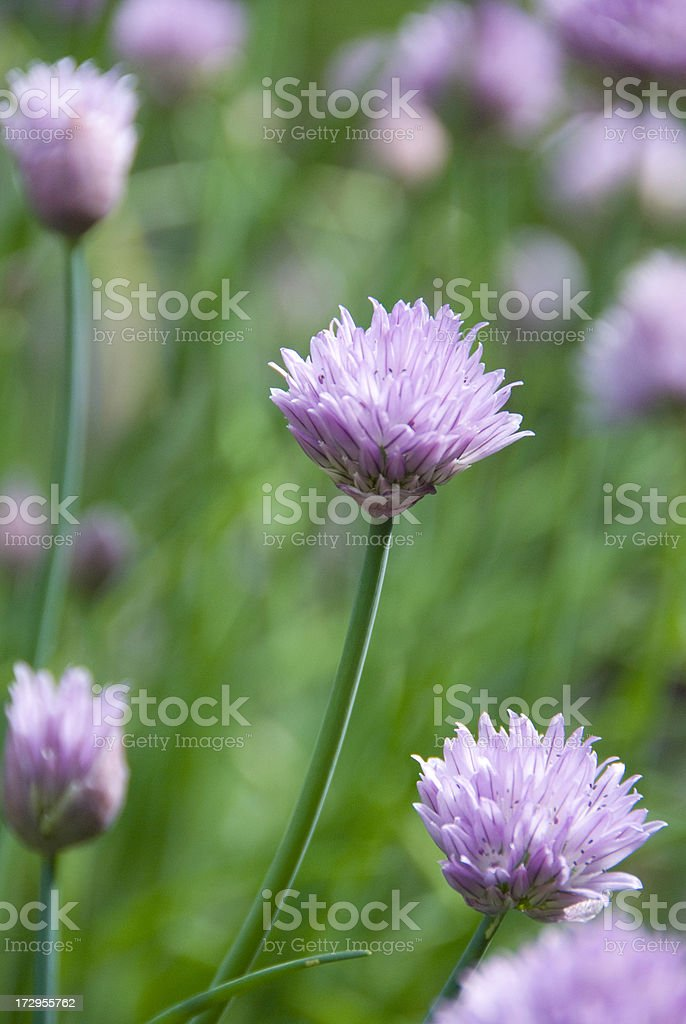 Chives blossom royalty-free stock photo