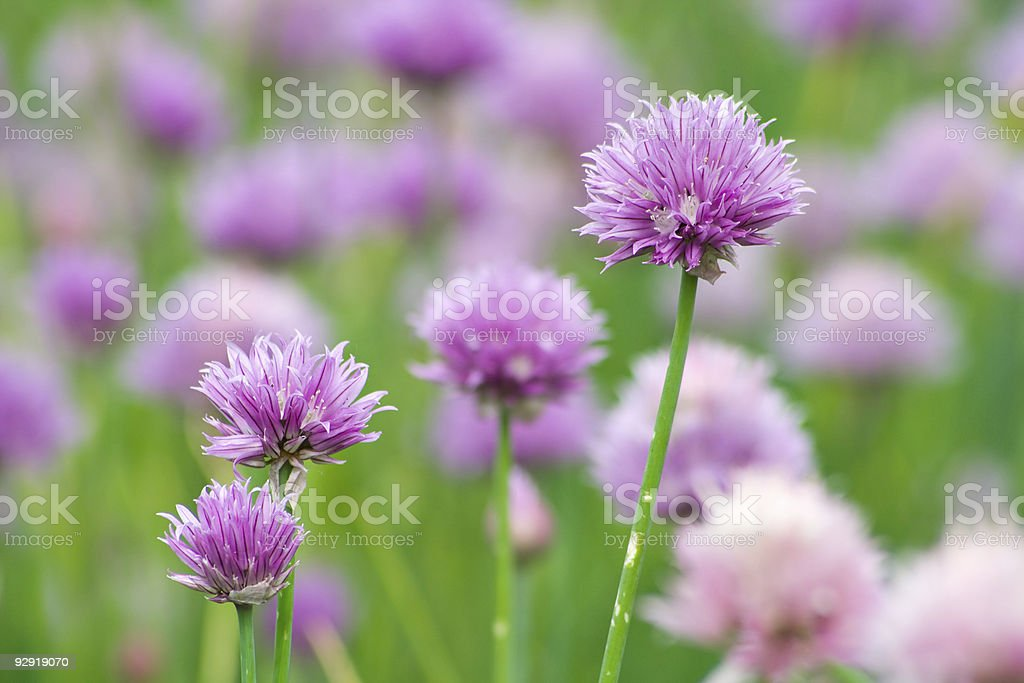 Chives blossoms royalty-free stock photo