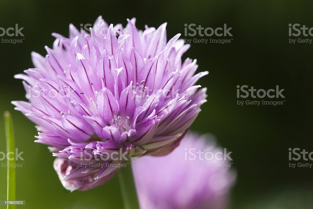 Chives Flower royalty-free stock photo